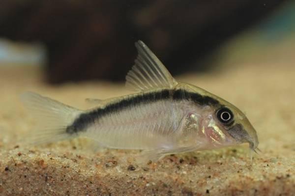 Bilde av Corydoras Arcuatus