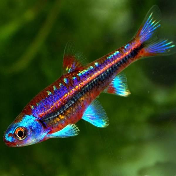 Bilde av Notropis chrosomus -Rainbow Shiner