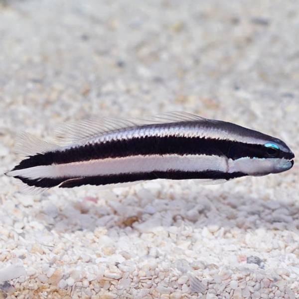 Bilde av Pseudochromis sankey / Striped Dottyback