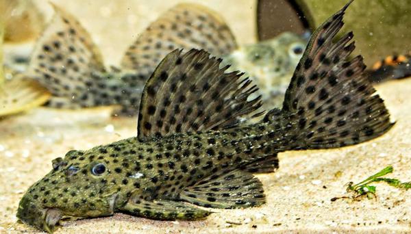 Bilde av  L160 Psudachantichus  Spinosus 5-6cm