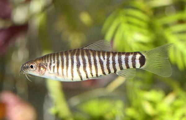 Bilde av stripete Dverg Botia 3-4cm