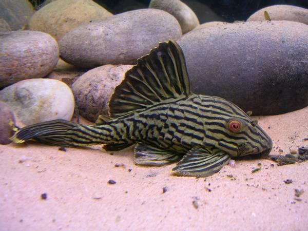 Bilde av L190 Panaque nigrolineatus  4-5cm