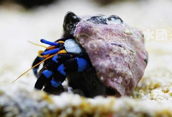 Bilde av EREMITT KRABBE BLUE LEGGED large