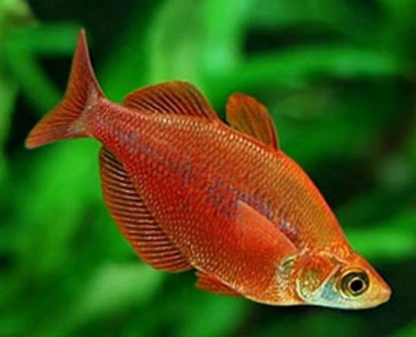 Bilde av Rød Regnbuefisk /Glossolepis incisus 5-6cm