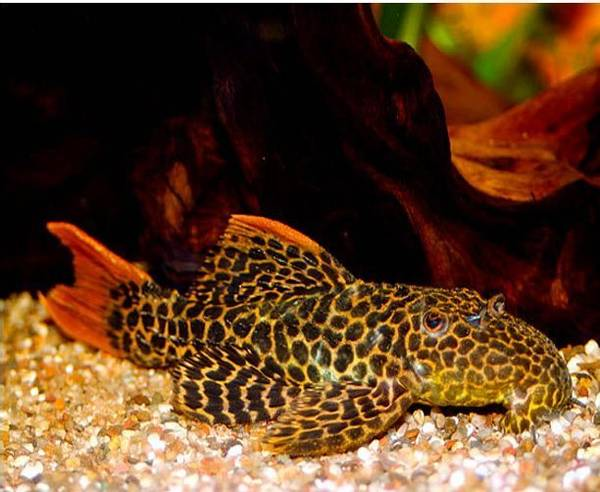 Bilde av L114 Pseudacanthicus cf. leopardus