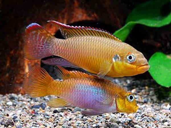 Bilde av Pelvicachromis taeniatus (Kribensis) XL